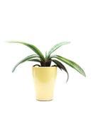 Planta carnuda no potenciômetro Fotos de Stock