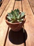 Planta carnuda no recipiente Fotos de Stock