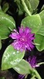Planta carnuda roxa Fotografia de Stock