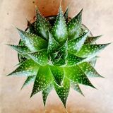 Planta carnuda simples Imagens de Stock Royalty Free