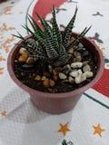 Planta carnuda, um presente de aniversário foto de stock royalty free