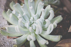 Planta carnuda verde da hortelã Fotos de Stock Royalty Free