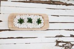 Planta carnuda verde nos seixos brancos com fundo da madeira do vintage Fotos de Stock Royalty Free