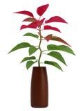 Planta casera con las hojas verdes y del rojo Fotografía de archivo