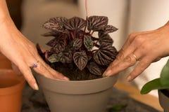 Planta casera de la casa que vuelve a poner que cultiva un huerto Fotos de archivo