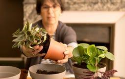 Planta casera de la casa que vuelve a poner que cultiva un huerto Fotografía de archivo libre de regalías