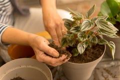 Planta casera de la casa que vuelve a poner que cultiva un huerto Foto de archivo libre de regalías