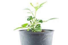 Planta casera en pote foto de archivo