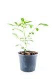 Planta casera en pote fotografía de archivo