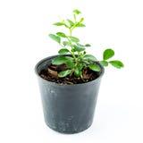 Planta casera en pote Foto de archivo libre de regalías