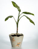 Planta casera (picta del Dieffenbachia) Imagenes de archivo