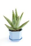 Planta casera verde en crisol de flor Fotos de archivo libres de regalías