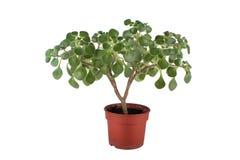 Planta casera verde en crisol de flor Fotografía de archivo libre de regalías