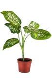 Planta casera verde en crisol de flor Foto de archivo libre de regalías