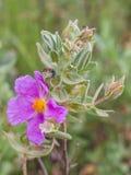 planta Cinzento-com folhas do Cistus com besouro quadriculado fotos de stock