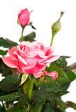 Planta color de rosa floreciente con gotas de rocío Imagen de archivo libre de regalías
