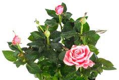 Planta color de rosa floreciente con gotas de rocío Fotos de archivo