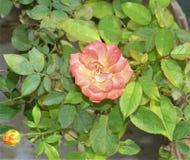 Planta color de rosa roja de la flor en mi jardín de la casa foto de archivo