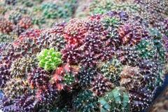 Planta colorida del ‹de Gymnocalycium†del cactus fotos de archivo