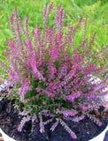 Planta colorida del lyng del otoño Fotografía de archivo