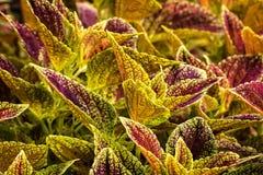 Planta colorida do Coleus Fotos de Stock Royalty Free