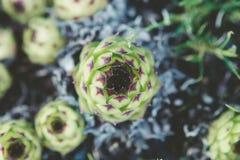 Planta común coloreada verde del houseleek foto de archivo