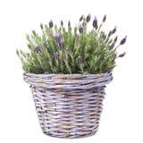 Planta común de la lavanda en una cesta de la lila foto de archivo