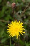 Planta común de Sowthistle Fotografía de archivo