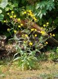 Planta común de Sowthistle Fotos de archivo libres de regalías