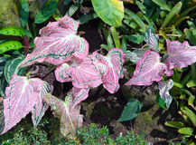 Planta com as folhas decorativas do crimson - Caladium Fotografia de Stock Royalty Free