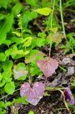 Planta com as folhas verdes e da violeta Fotografia de Stock