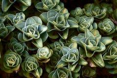 Planta com diversos KALANCHOES Imagens de Stock