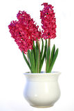 Planta com flores vermelhas. Fotos de Stock Royalty Free