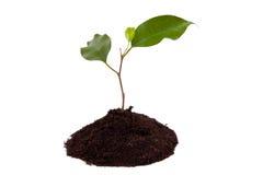 Planta com folhas verdes, e terra Fotos de Stock