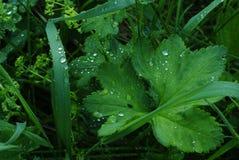 Planta com gotas da água Foto de Stock Royalty Free