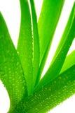 Planta com orvalho Fotos de Stock Royalty Free