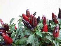 Planta com pimentões picantes Imagem de Stock