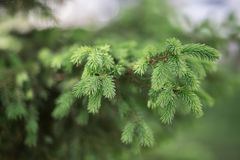 Planta conífera verde Fotografia de Stock Royalty Free