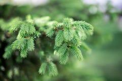 Planta conífera verde Imagens de Stock