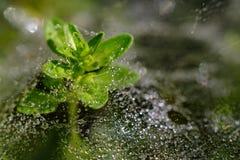 Planta con el spiderweb lleno de gotas de lluvia imagen de archivo