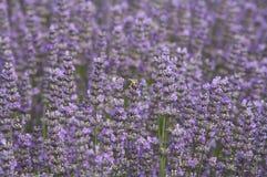Planta con las abejas en las flores, lila de la lavanda del campo Fotografía de archivo