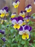 Planta con las flores amarillas y púrpuras de la flor imagen de archivo libre de regalías