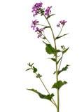 Planta con las flores púrpuras - annua de la honradez del Lunaria Fotos de archivo