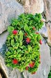 Planta con las flores rojas Foto de archivo libre de regalías