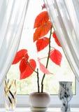 Planta con las hojas rojas Fotografía de archivo libre de regalías