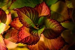 Planta con las hojas rojas y verdes Fotografía de archivo libre de regalías