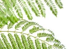 Planta con las hojas verdes aisladas en blanco Imagenes de archivo
