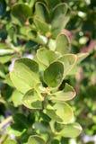 Planta con las hojas y los bourgeons de los jóvenes Imagen de archivo