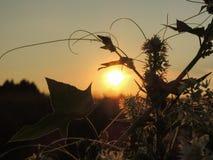Planta con las pequeñas flores en la puesta del sol fotografía de archivo