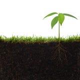 Planta con las raíces Foto de archivo